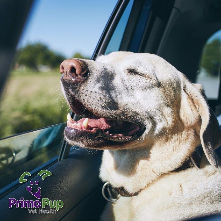 Cruising into the weekend... Pure Bliss. Labrador retriever