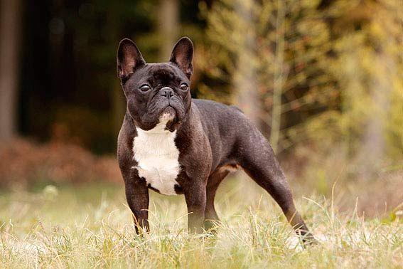 Franzosische Bulldogge Bulldog Animals French Bulldog