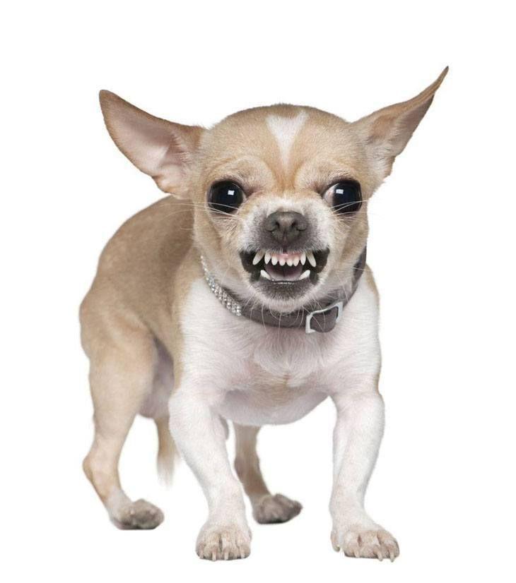 Man Eating Chihuahua Chihuahua Dog Growling Aggressive Dog
