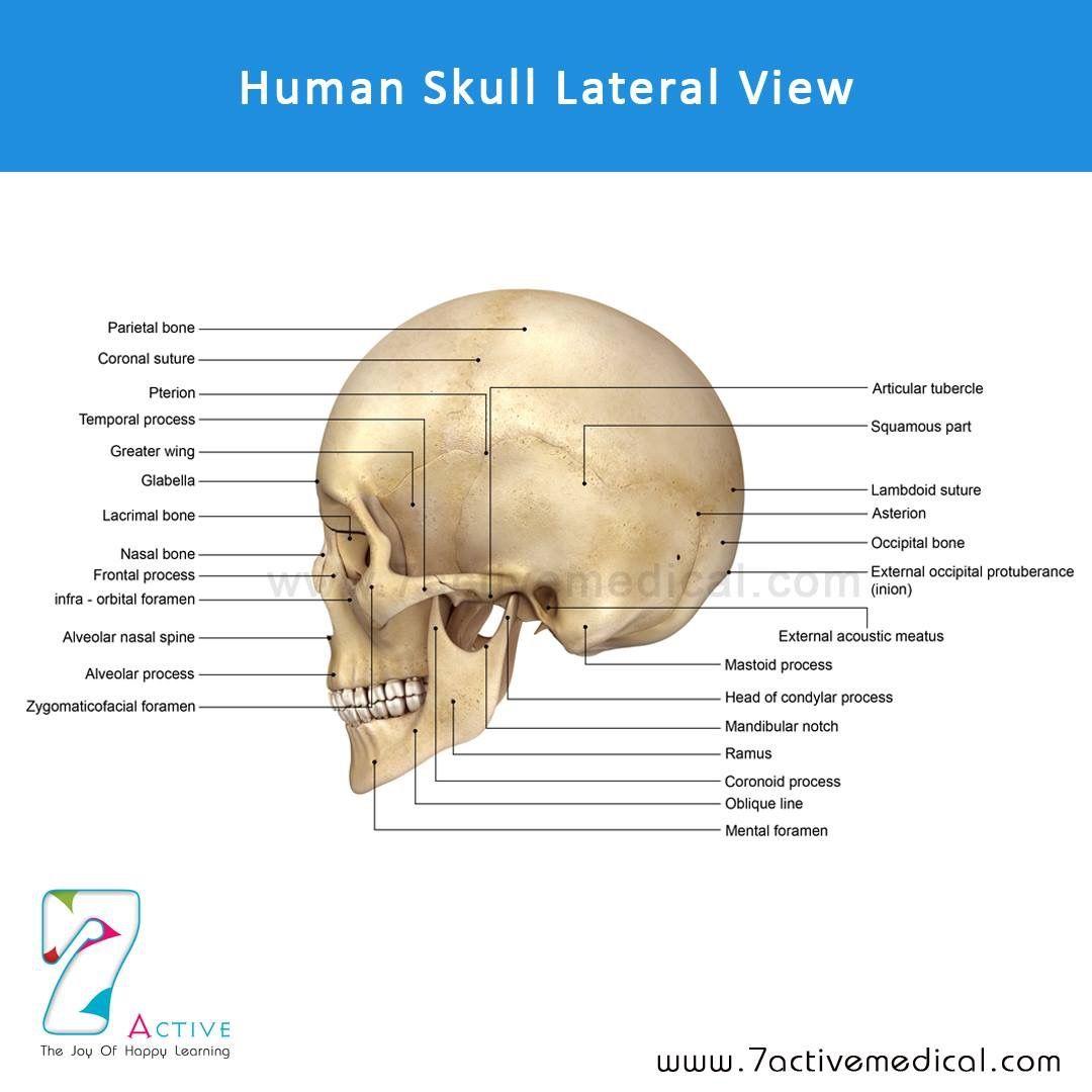 Human Skull Lateral View