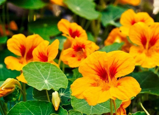 9 лучших быстрорастущих вьющихся цветов для забора, арок и ...