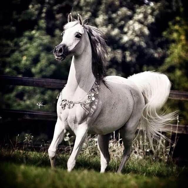 Pin By Andy Penrod On بيضاء جميلة Arabian Horse Horses Horse Wallpaper