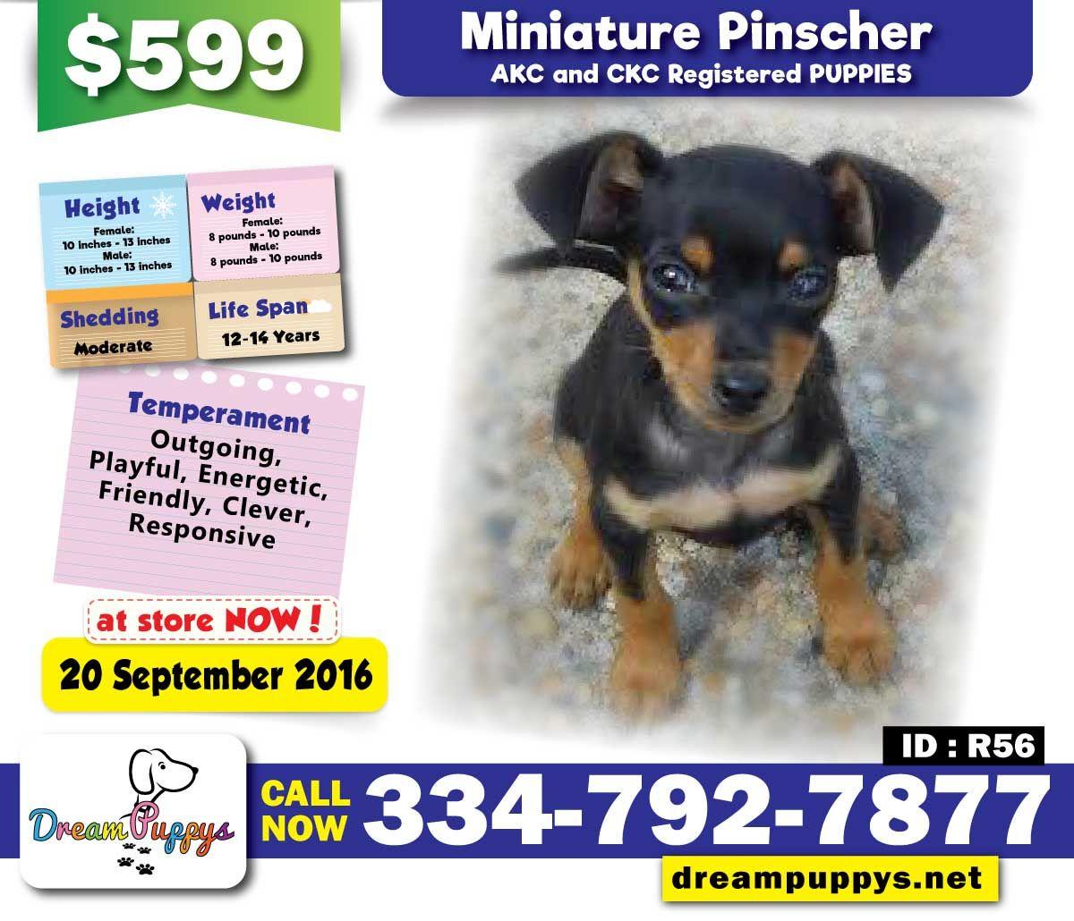 Miniature Pinscher Puppies Id R56 20 September 2016