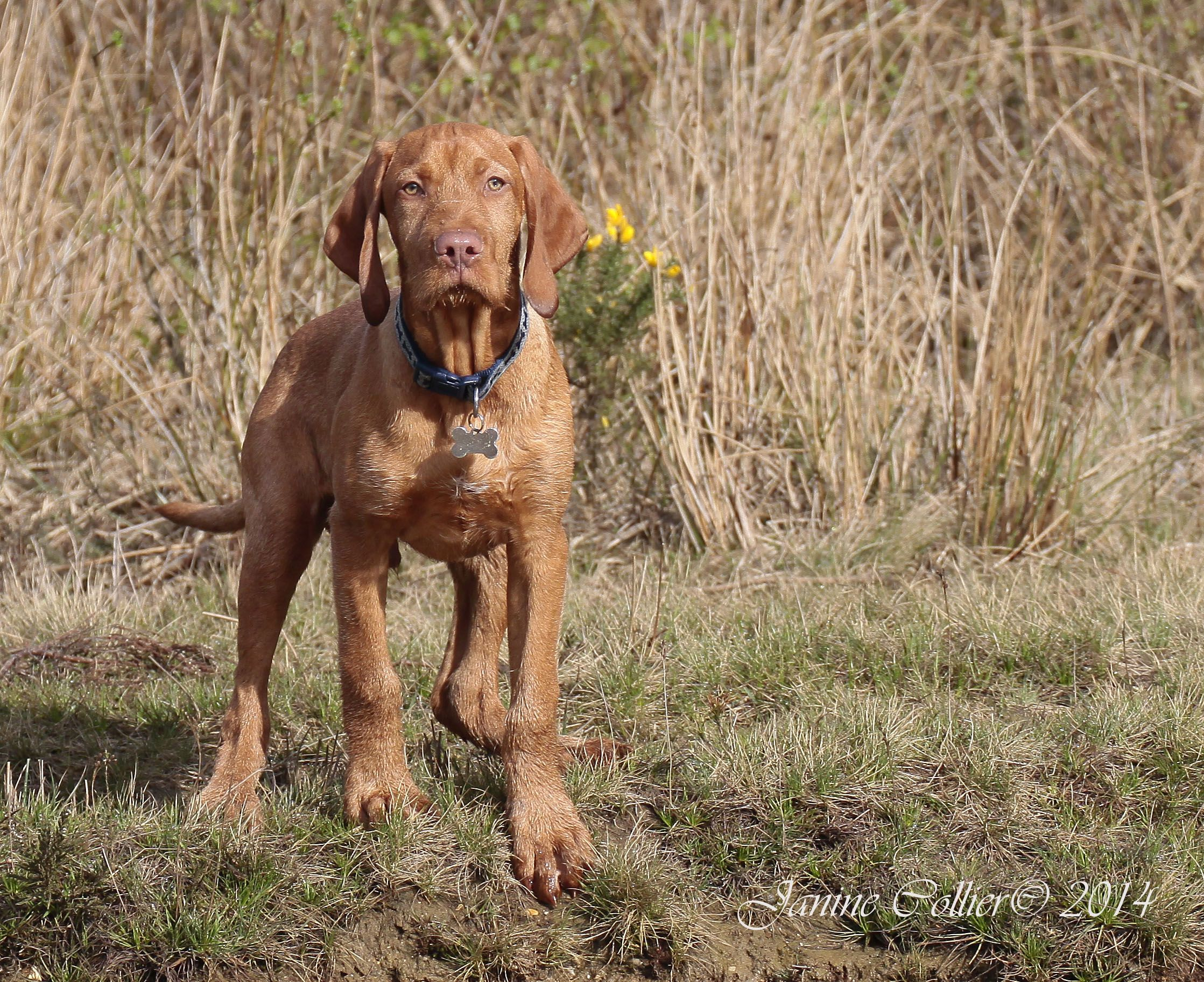 Wirehaired Vizsla Pup Out On A Walk