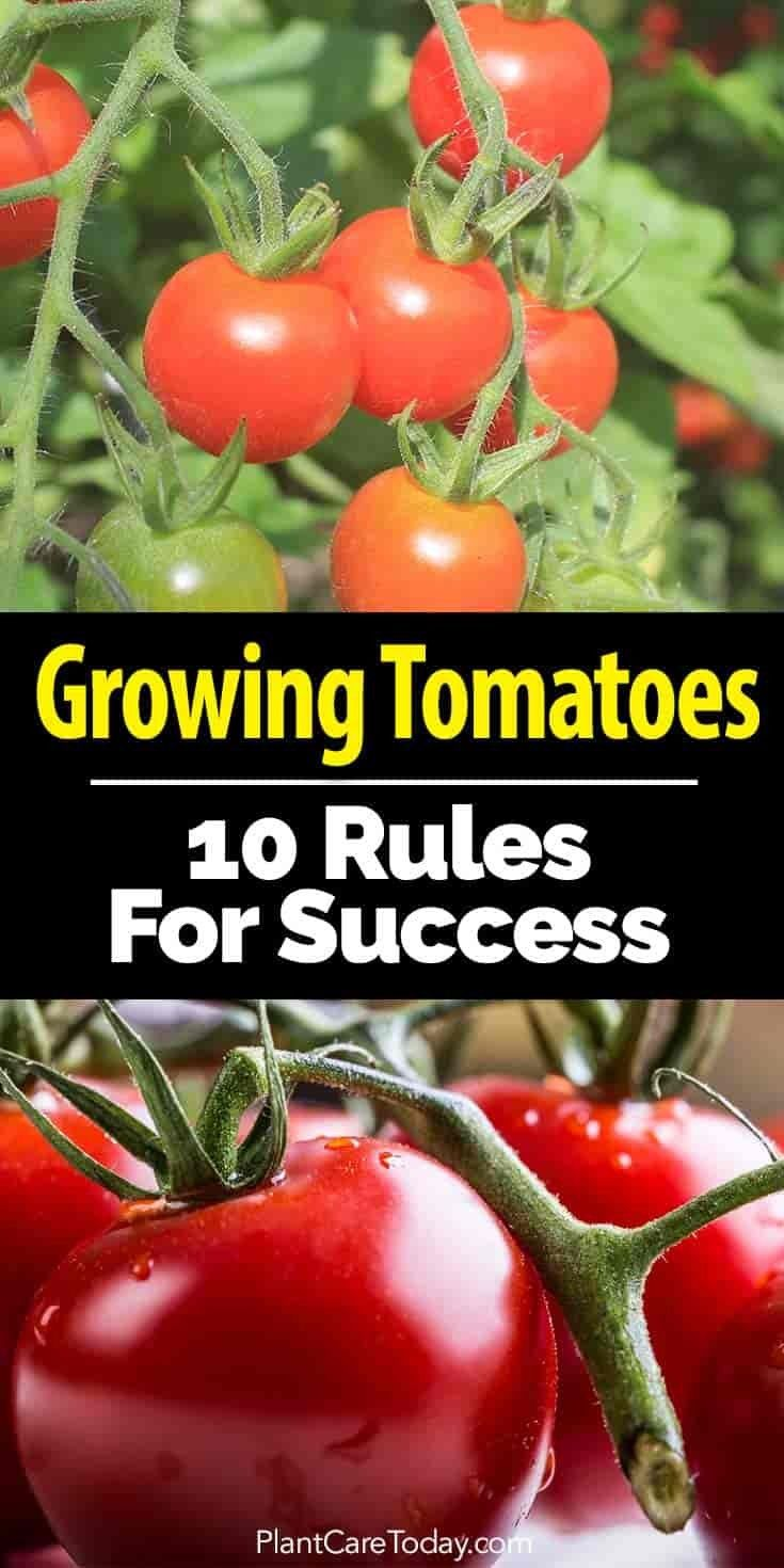 how long does it take tomato seeds to grow indoors