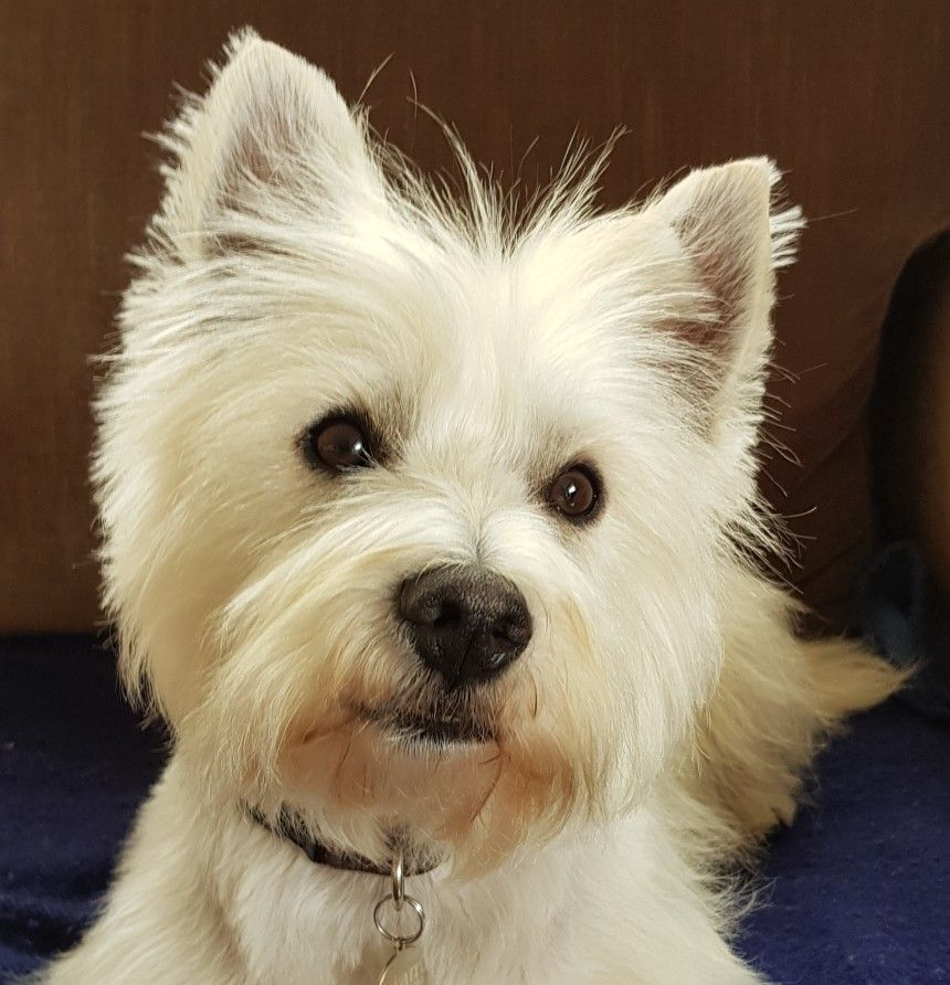 Pin By Mary Mcgarrah On Westies Westie Dogs