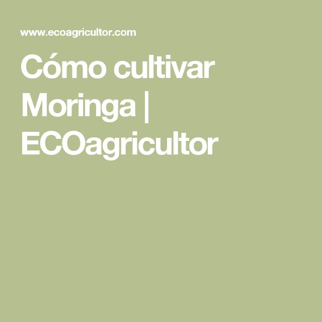 Cómo cultivar Moringa | ECOagricultor