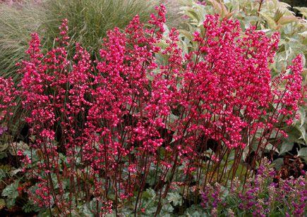 Heuchera Rave On From Plantlust Com Heuchera Shade Perennials Coral Bells Plant