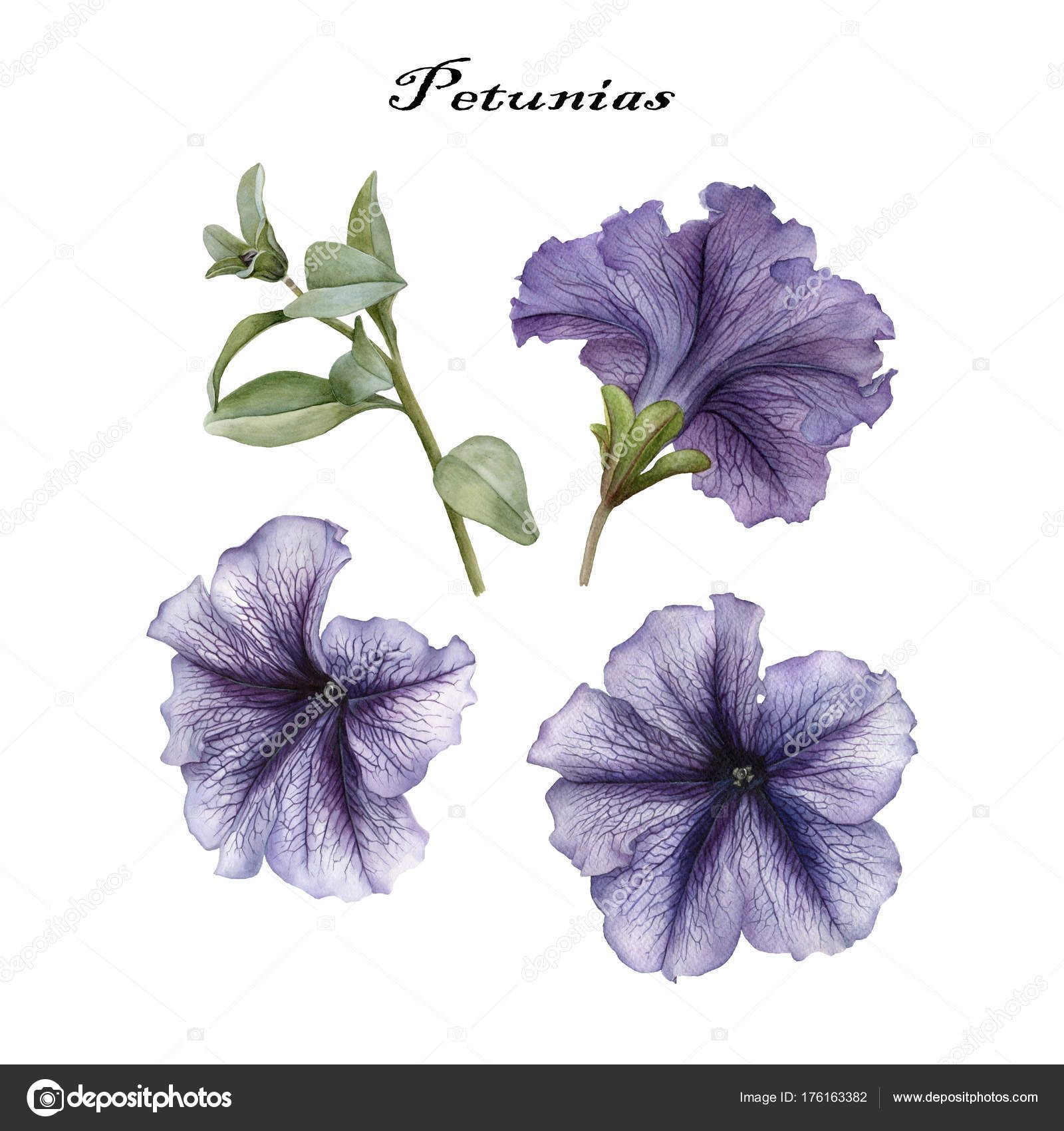 Download Flowers Set Watercolor Petunias Leaves Stock Image Petunior Hur Man Ritar Blommor Blomma Akvarell