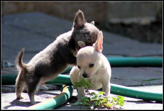 Pin On In Love With All Chihuahuas