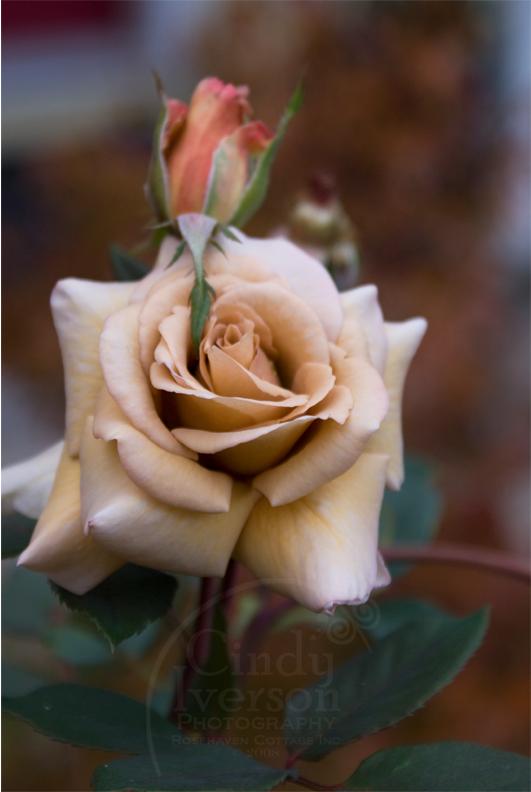 """Autumn """"Irish Cream"""" Rose"""