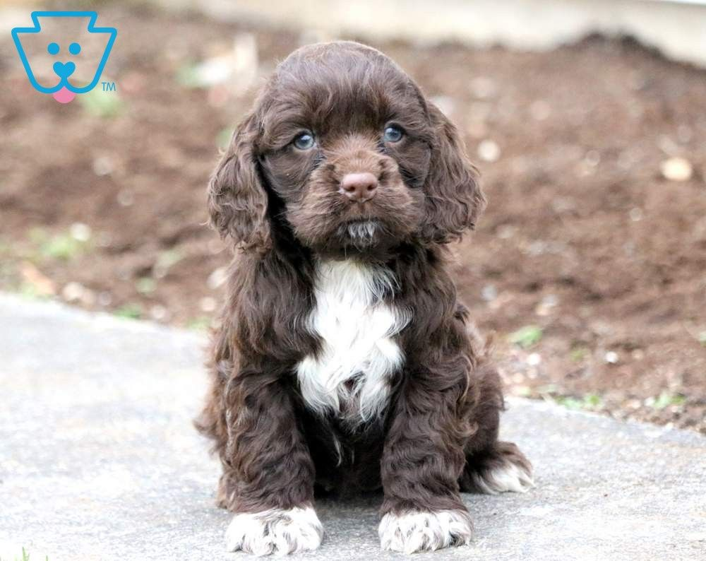 Polly Cocker Spaniel Puppy For Sale Keystone Puppies Spaniel Puppies For Sale Spaniel Puppies Cocker Spaniel Puppies