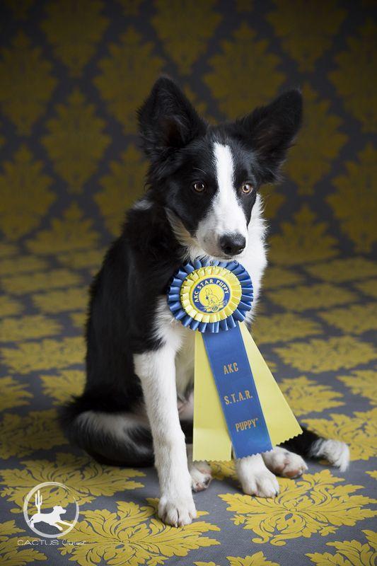Akc Star Puppy 5 Month Old Border Collie Puppy Collie Puppies