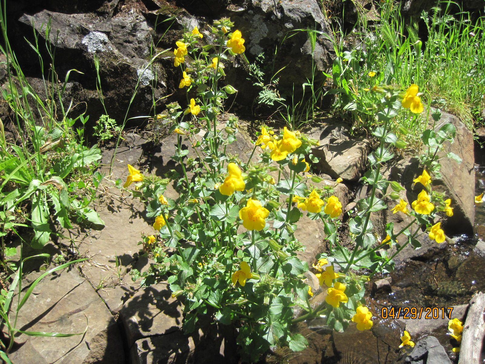 Mimulus Guttatus Yellow Monkey Flower Table Top Mountain Oroville