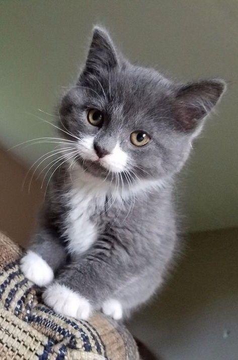 Most Gorgeous Gray Kitty Ever Gorgeouscat Graykitty Kitten