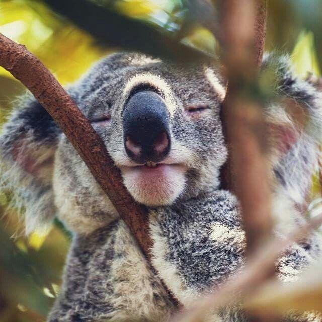 Koala Koalas Baby Koala Cute Animals Animals