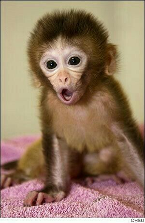Pin By Laura Smith On Animal Cute Baby Animals Cute Monkey Pet