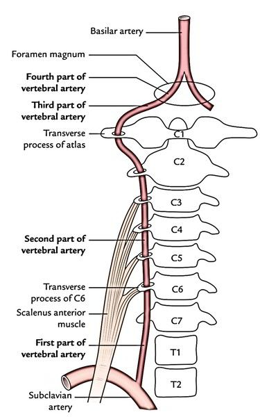 10+ Vertebral Artery – Earth's Lab