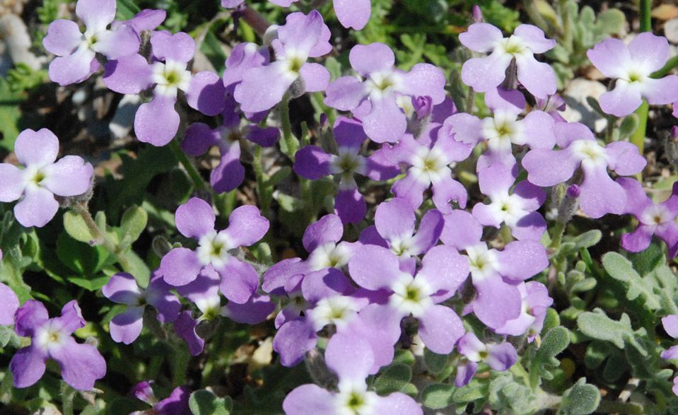 Flowers from Tartı Lesvos
