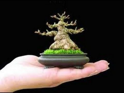 Image result for mame ficus bonsai