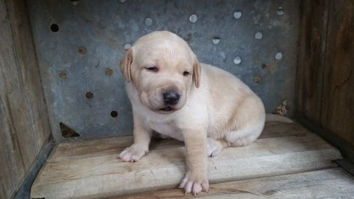 Litter Of 4 German Shorthaired Lab Puppies For Sale In Bakersfield