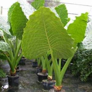 alocasia borneo giant elephant ear live plants elephant ears borneo and live plants. Black Bedroom Furniture Sets. Home Design Ideas