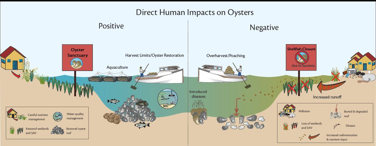 Oyster Reef Diagram Google Search Oysters Oysters