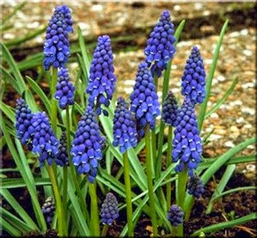 Small purple flower bulb muscariknown as grape hyacinths are small purple flower bulb muscariknown as grape hyacinths are hardy spring bloomers that mightylinksfo
