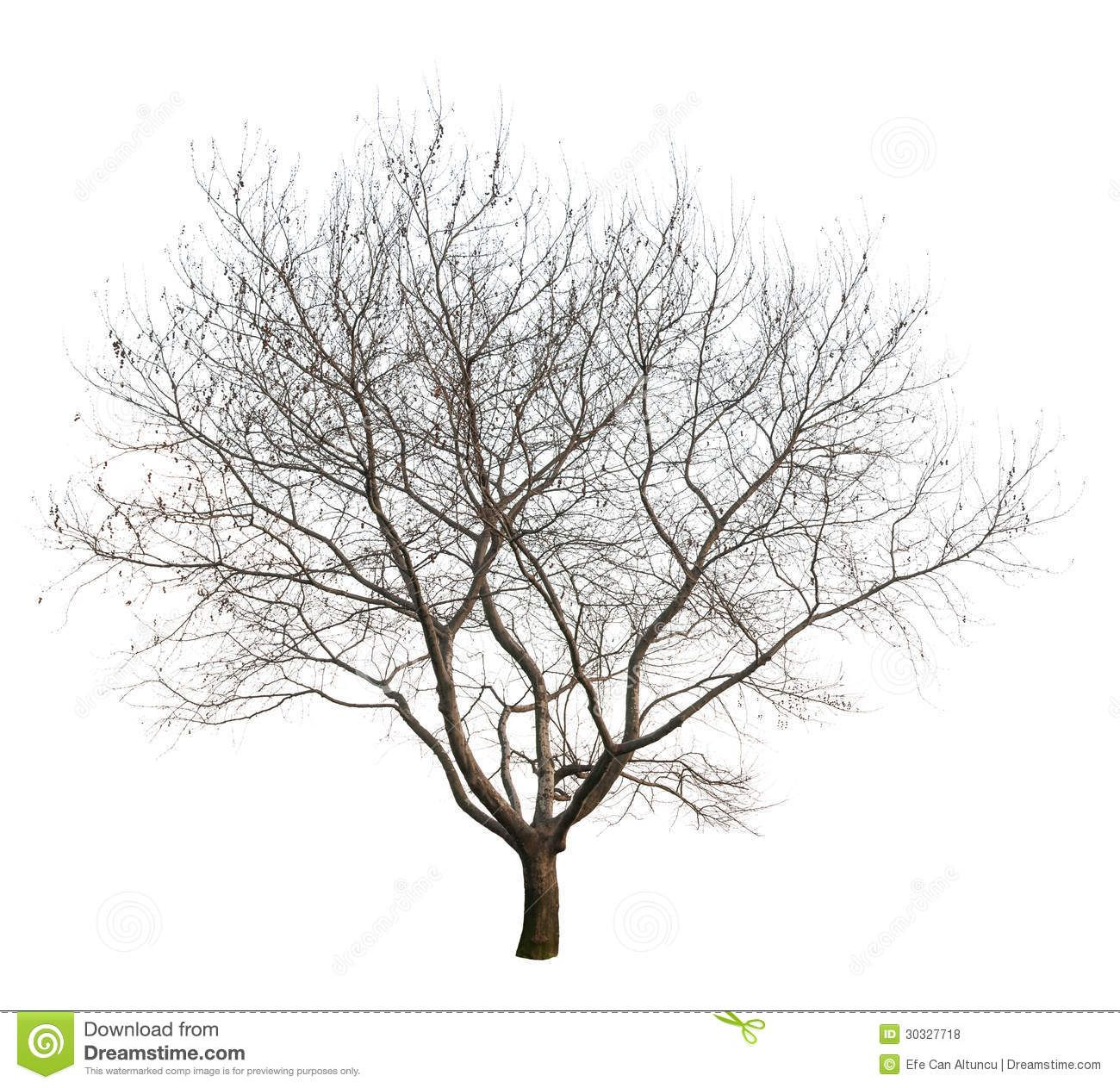 Isolated Tree Photo Winter Season White Background Png File Full Transparency Available As Additional Format 30327718 Jpg 1300 1263