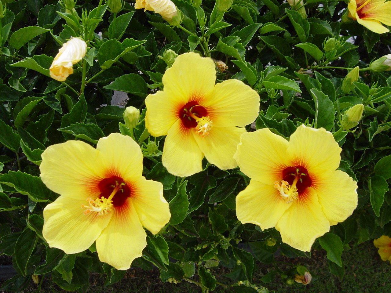 Hawaii state flower hawaiian hibiscus hibiscus hawaiian hibiscus hawaii state flower hawaiian hibiscus hibiscus hawaiian hibiscus is a moderately popular ornamental flower izmirmasajfo Gallery