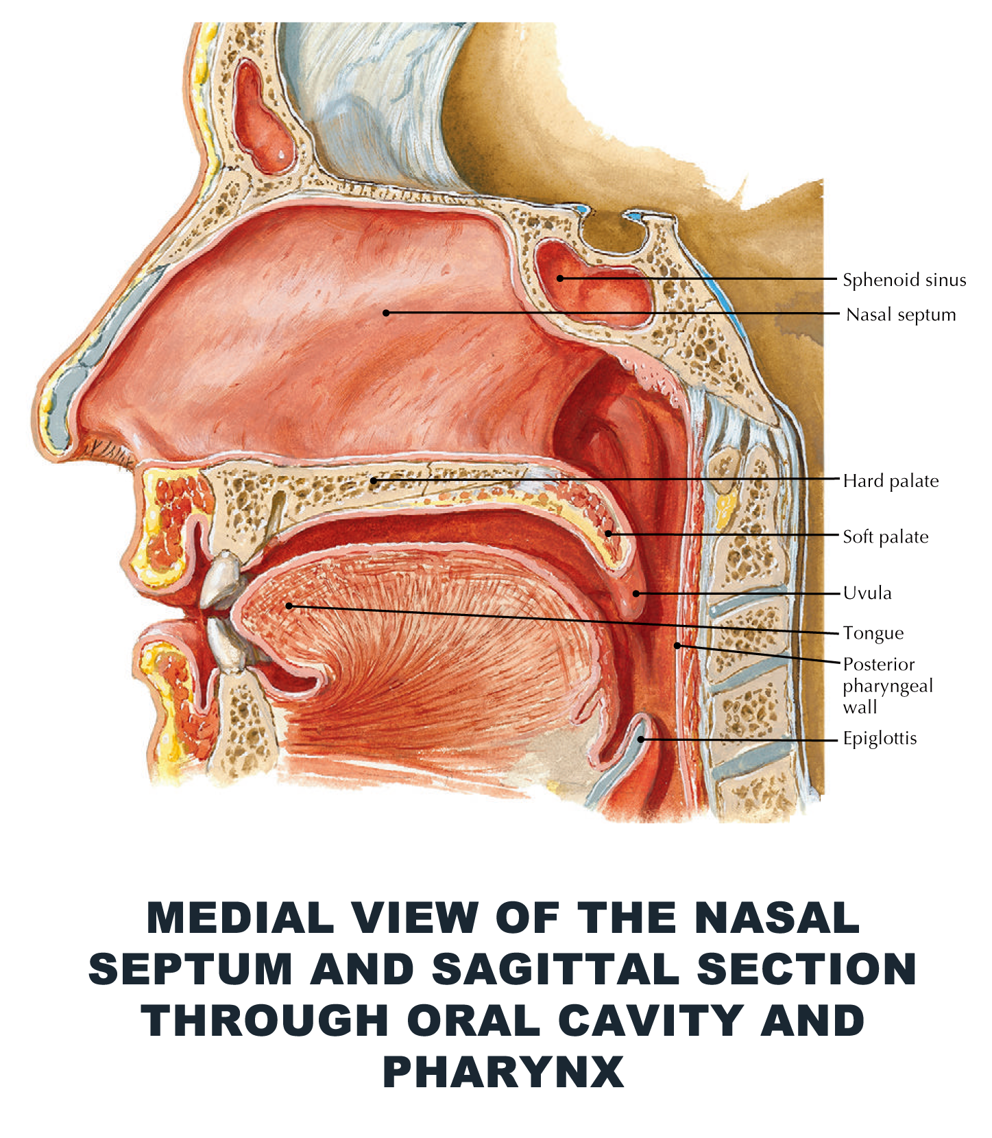 Medial view of the nasal septum and sagittal section through oral ...