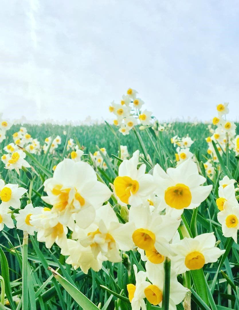 Nada Kuroiwa Narcissus Field, Hyogo, Japan, flower