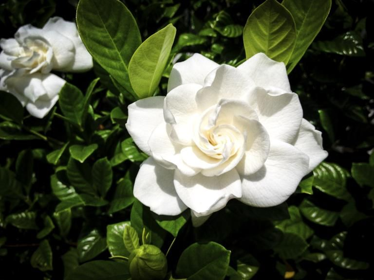 The Surprising Meaning Behind 10 Different Valentine Flowers Gardenia Plant Gardina Flowers Valentines Flowers