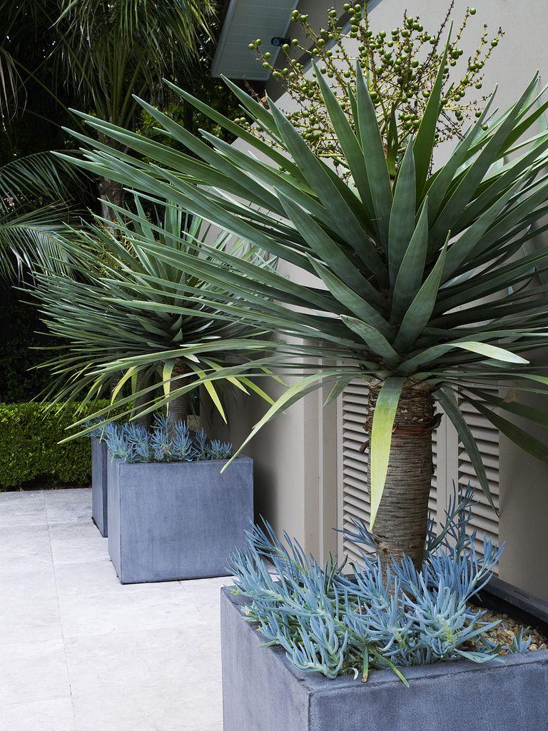 Outdoor Plants Nursery Located Between Santa Monica And: Dracaena Draco In Pots With Senecio Sp. 1