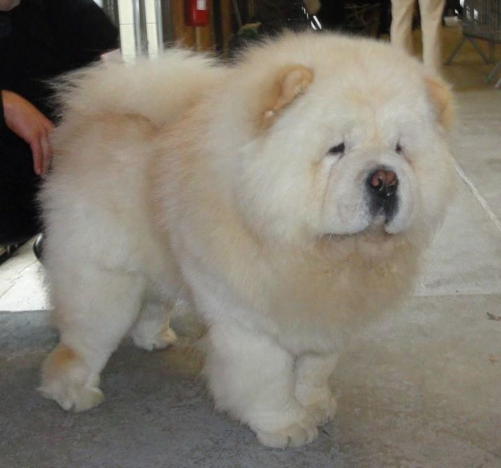Adorable Cute Animals Cutest Dog Ever Chow Chow Dogs