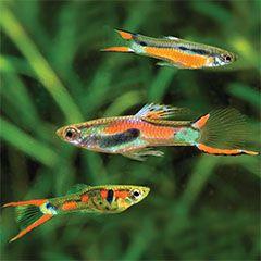 Conseil Guppy Endler : un poisson haut en couleurs