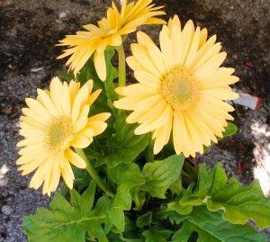Planting Gerber Daisies With Images Gerbera Daisy Gerbera