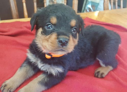 Litter Of 7 Rottweiler Puppies For Sale In Windsor Me Adn 24721