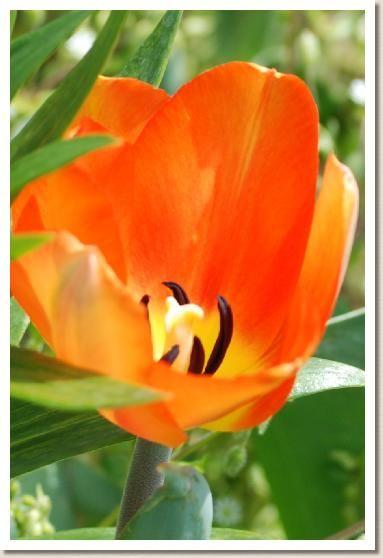 tulip lighting sun tulip pinterest