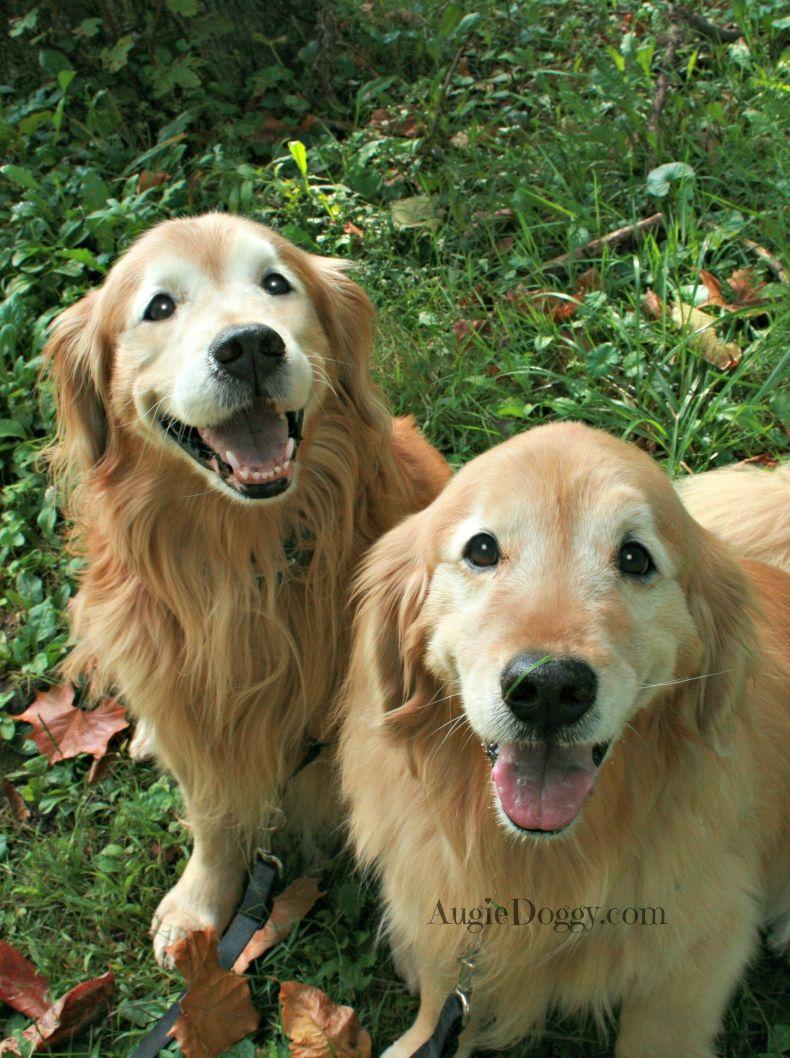 We Are Happy Boys Goldenretriever Golden Retriever Dogs
