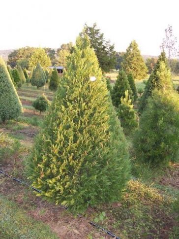 Cal2homa Christmas Tree Chrysanthemum Farm In Gore Offers Beautiful Chrysanthemums In The Fall And Choos Leyland Cypress Trees Leyland Cypress Cypress Trees
