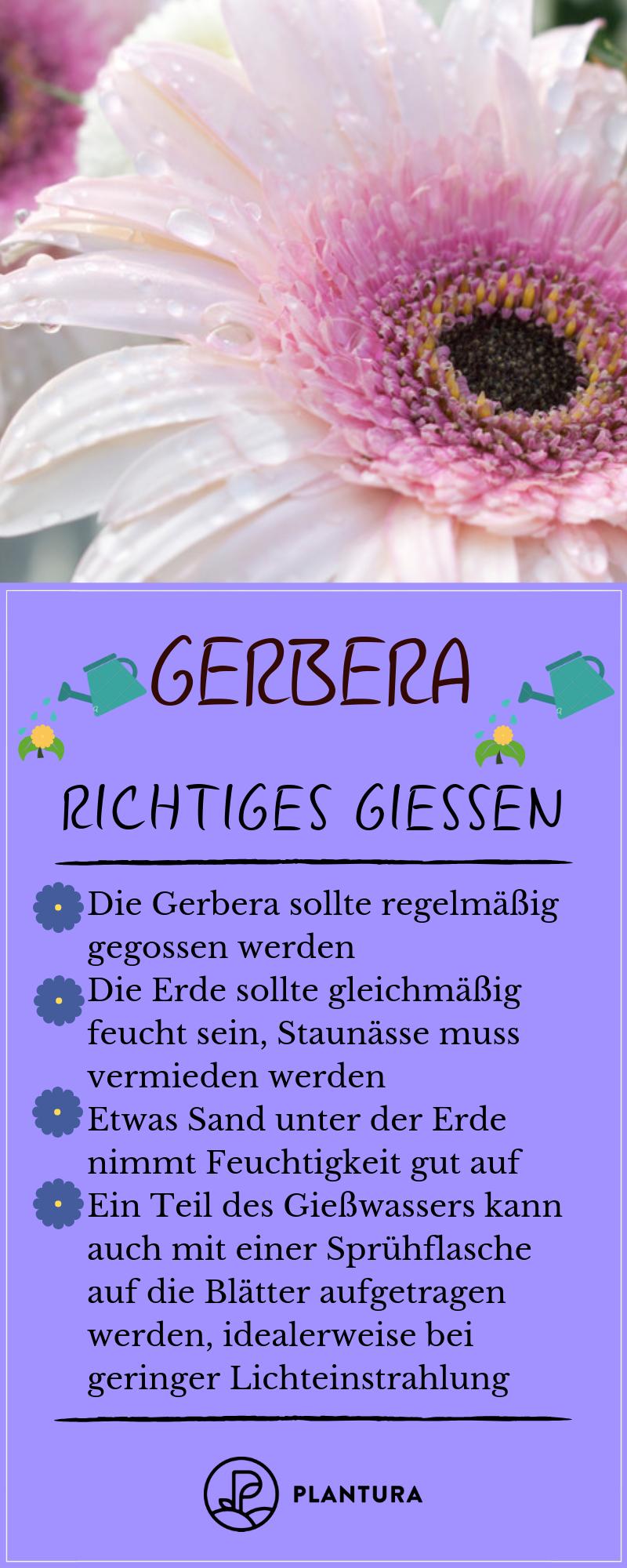 Gerbera Im Topf Im Garten Als Schnittblume Plantura Gerbera Schnittblumen Bepflanzung