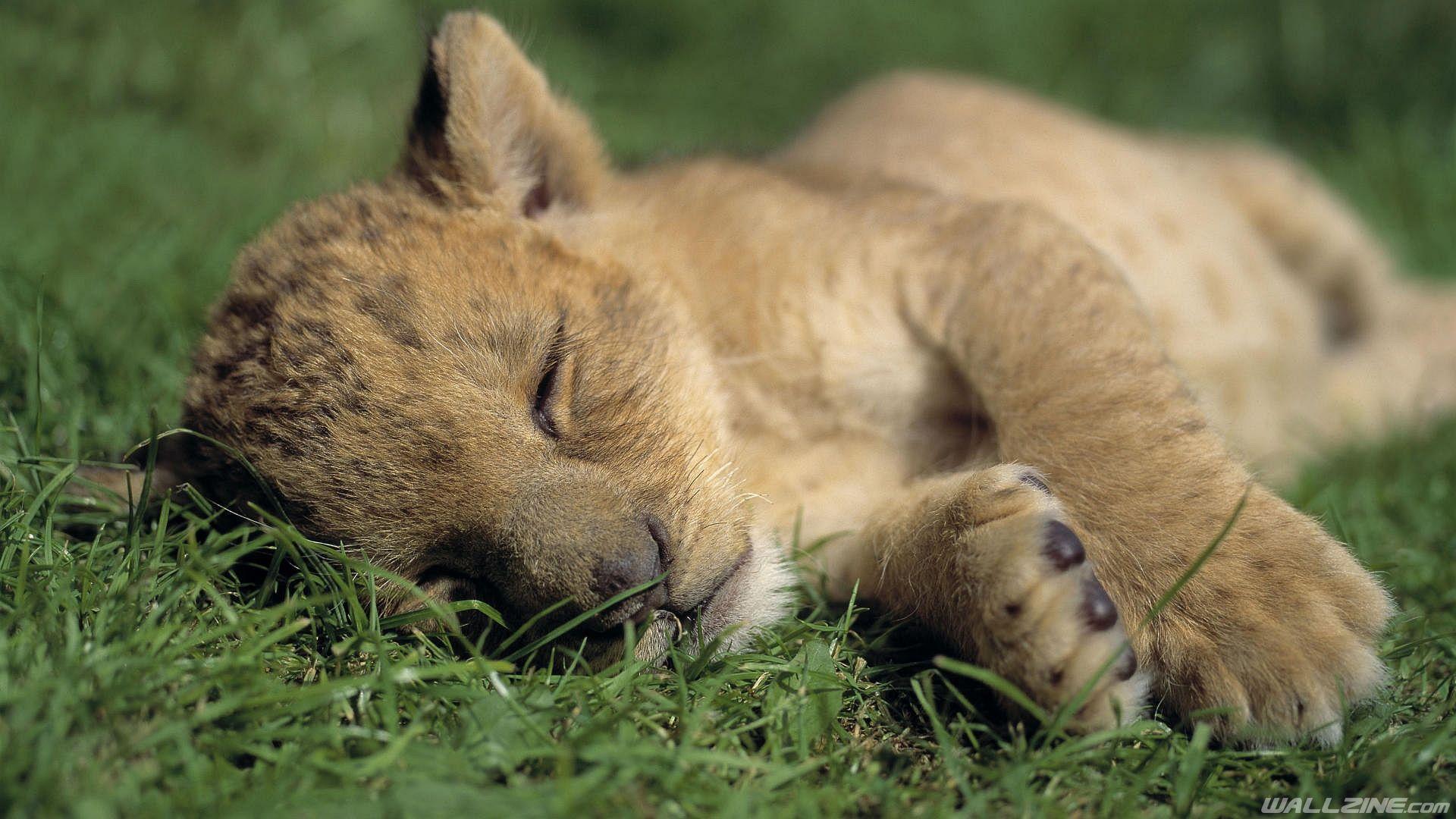 Lions Wallpaper Susseste Haustiere