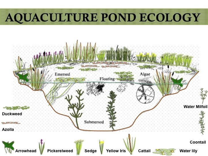 Aquaculture food web food webs ecology and food for Garden pool ecosystem