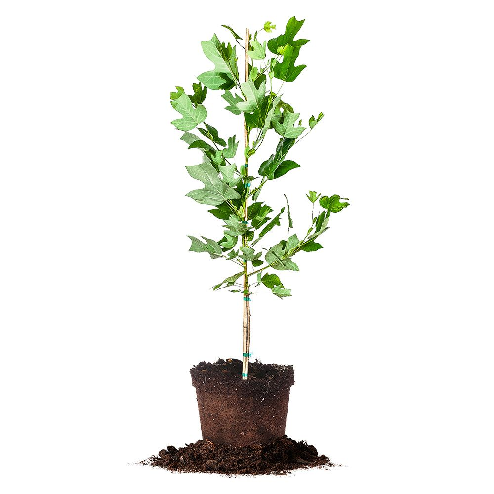 Yellow Poplar Wood For Sale: Perfect Plants, Plants, Fast Growing Trees
