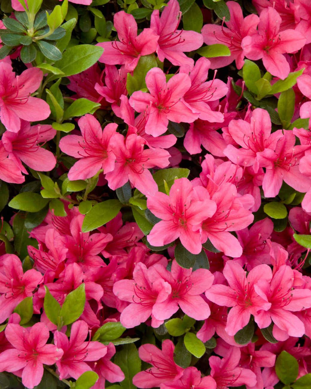 Your Ultimate Guide To Flowering Perennials Which Popular Plants Bloom When Azalea Flower Flowers Perennials Pink Azaleas