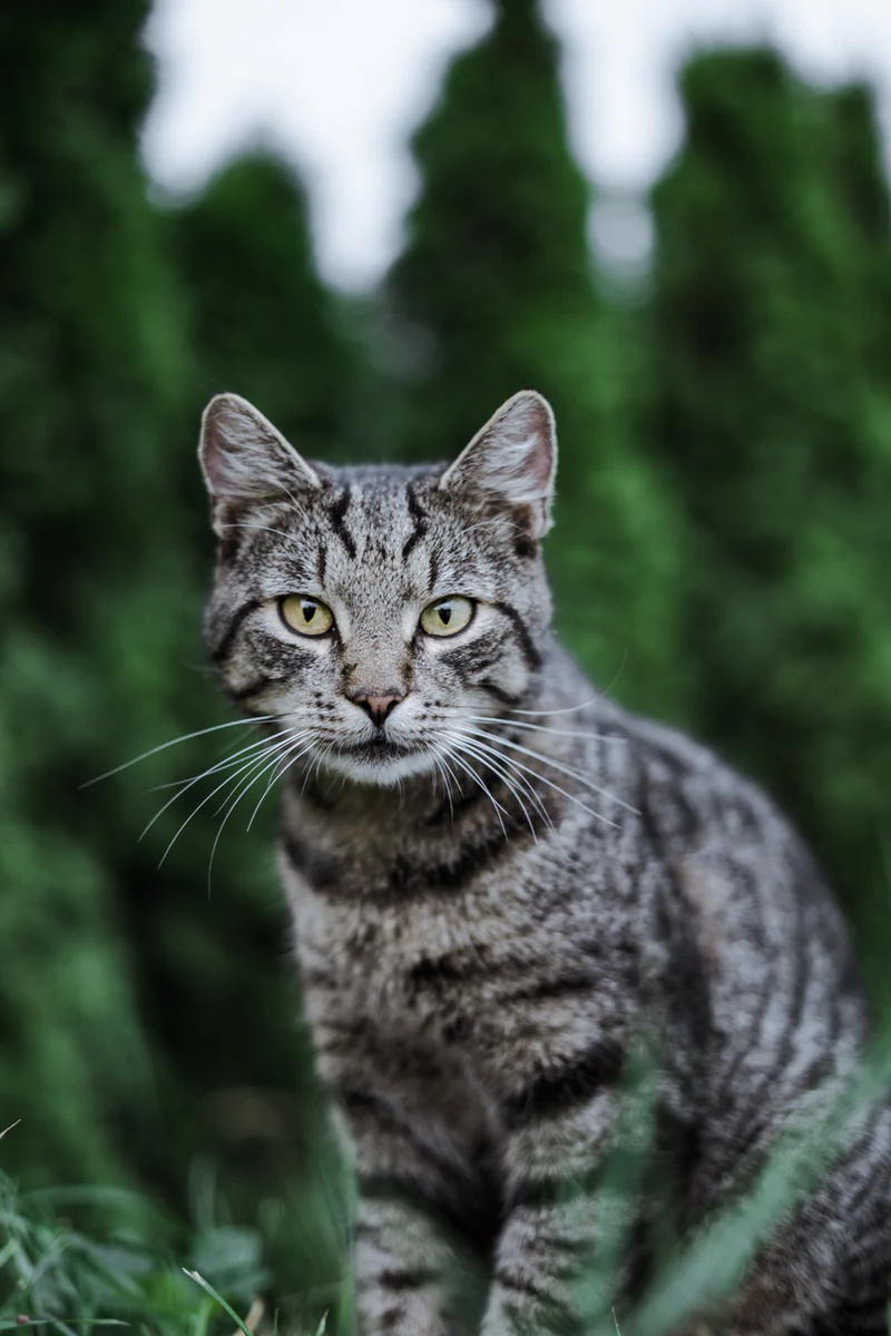 20 Cat Pictures Images Hd Download Free Images Stock Photos On Unsplash In 2020 Grey Tabby Cats Cat Pics Cats