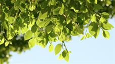 Tree Leaves #nature