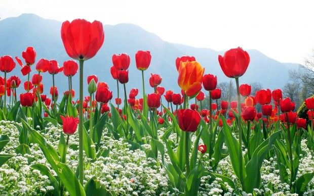 Red Tulip Flowers Field Wallpaper