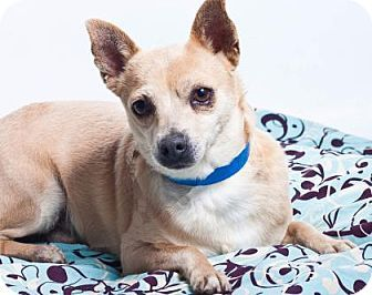 Pictures of Banjo a Chihuahua for adoption in Colorado